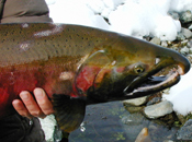 Male coho salmon in Scott River
